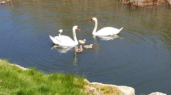 Swans at Bay Harbor